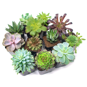 Succulent Plants (5 Pack)