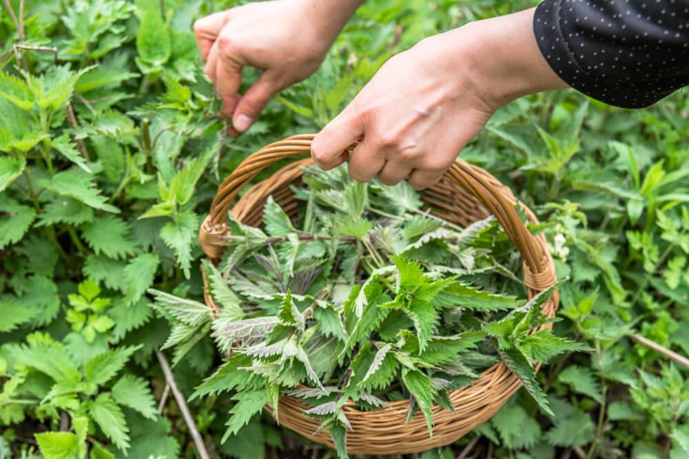 Gardener harvesting nettles